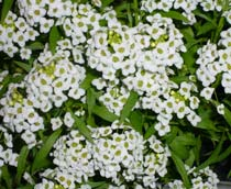 Garden quiz including pictures all about bedding plants for Perenni da giardino