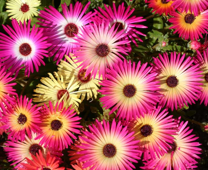 Bedding Plants, Pictures And Names Of Bedding Plants