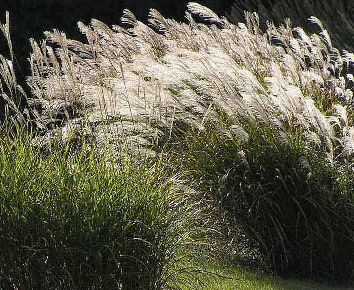 Ornamental grasses quiz identification and recognition for Best ornamental grasses for full sun