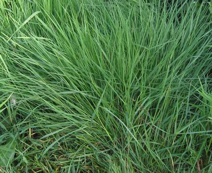 Ornamental grasses quiz identification and recognition for Blue ornamental grass varieties