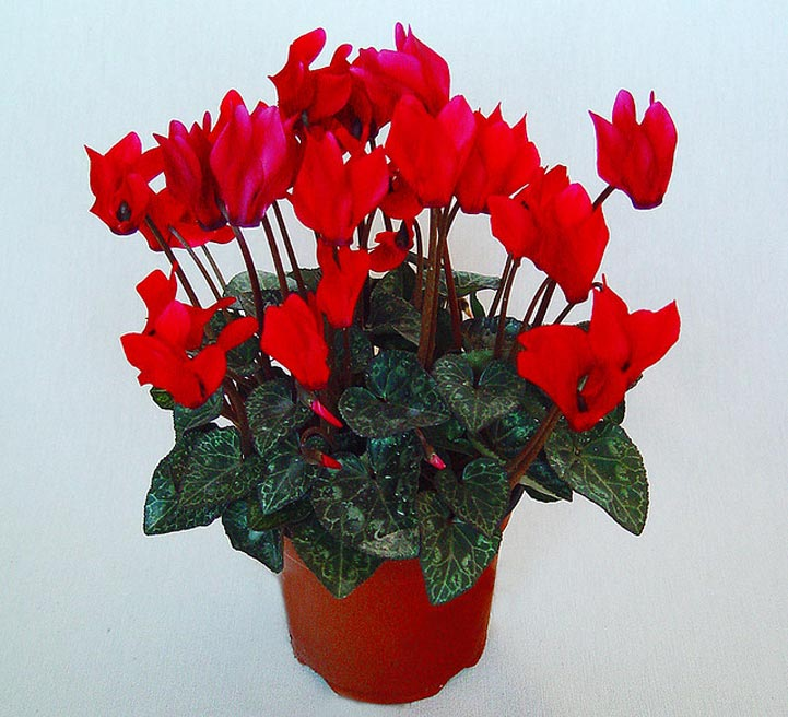 picture quiz about houseplants both flowering and foliage varieties - Red Flowering House Plants