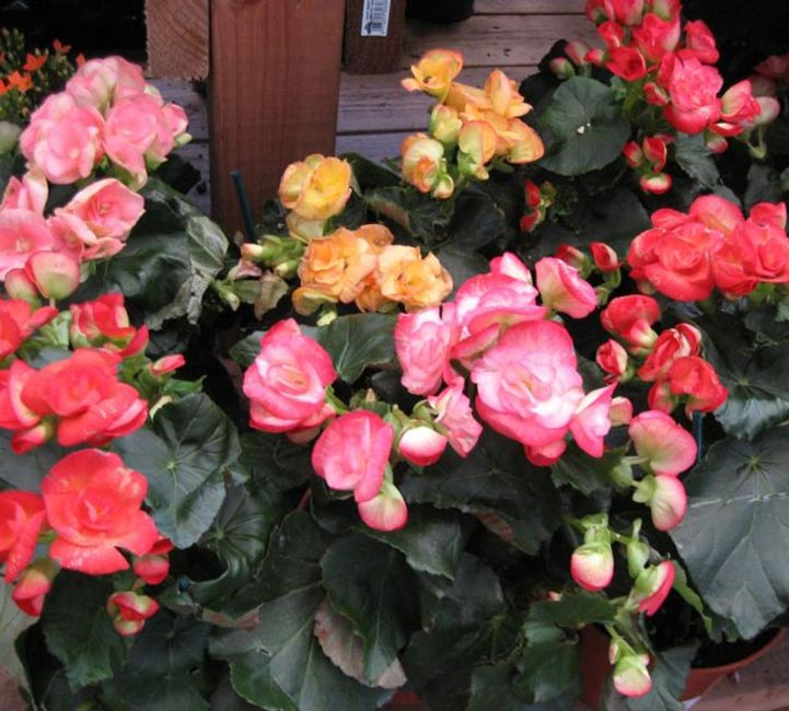 Picture quiz about houseplants both flowering and foliage varieties mightylinksfo