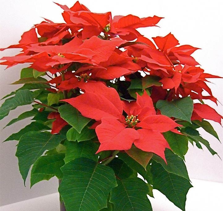Poinsettia House Plant: Houseplant Quiz With Emphasis On Seasonal And Festive Plants