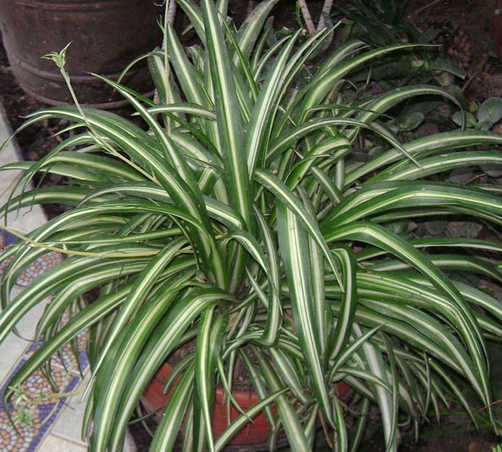 Picture Quiz about Houseplants both Flowering and Foliage ...