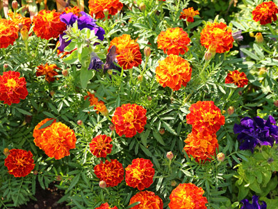 Annuals - Container Plants 1