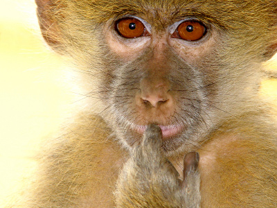 Monkey that is pondering  what to do