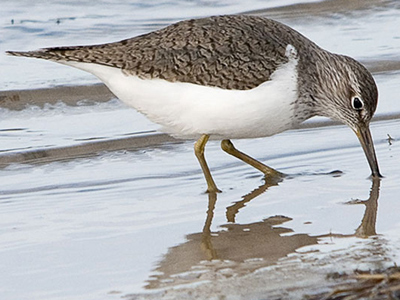 British Birds - Sandpipers and Godwits