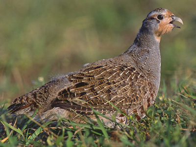 British Birds - Pheasants, Grouse, Partridges and Quail