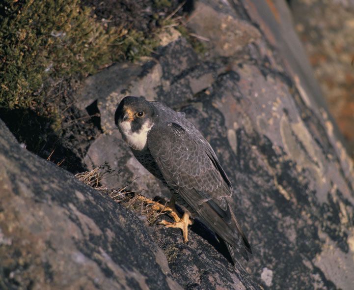 an analysis of the peregrine falcon bird falconiformes The peregrine falcon, or falco peregrinus, is the fastest-flying bird, diving at a speed of 350km/h (217mph) peregrines have previously been rare, but they are now widespread and fairly common.