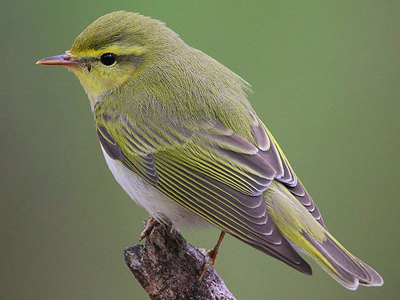 British Birds - Warblers