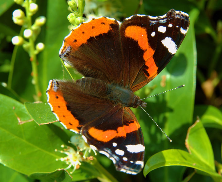 Red Admiral Butterfly Vs Painted Lady