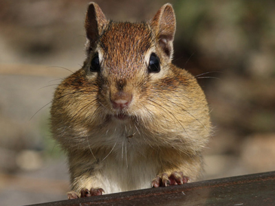 N American Rodents North American Mammals...