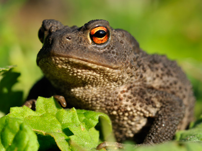 Reptiles and Amphibians - The Common Toad