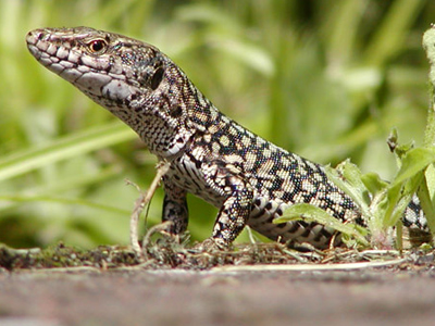 Reptiles and Amphibians - British Reptiles
