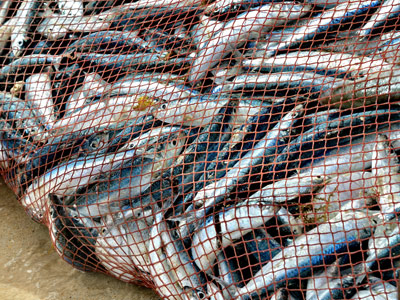 A trawler net packed full of fish