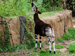Okapi reaching up to eat leaves