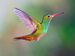 Colourful rufous-tailed hummingbird flying