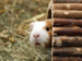 Guinea pig peeking out of log hut